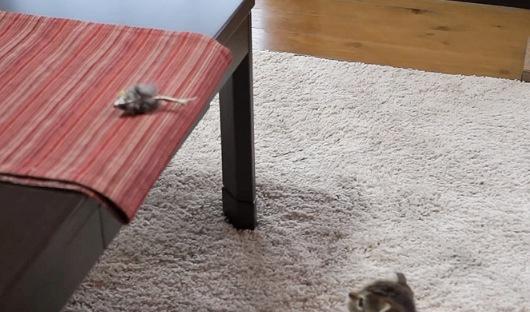 おもちゃを置かれ取りたい子猫
