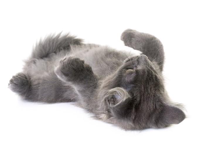 寝転がってお腹を見せるグレーの子猫