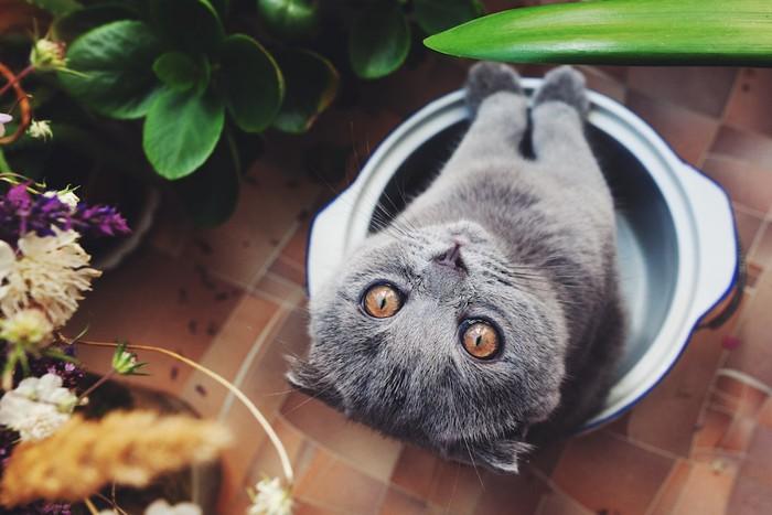 器の中に入って上を見つめる猫