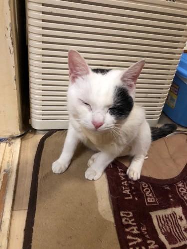 目をつぶって座る白黒ぶち猫