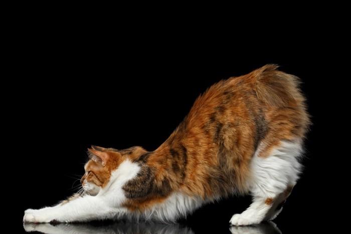 猫が伸びをしている