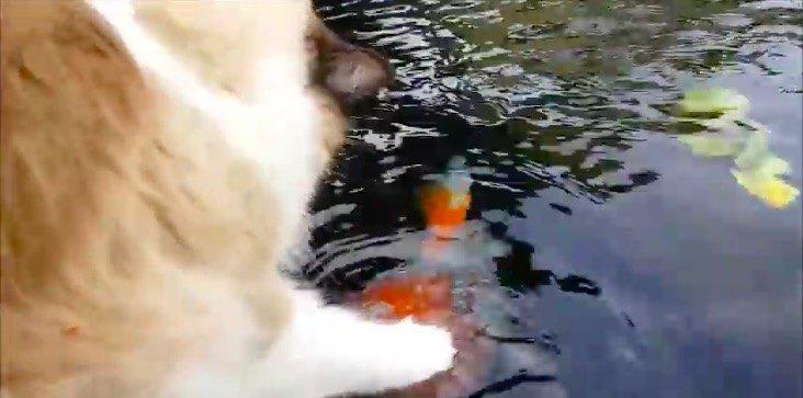 鯉に触る猫