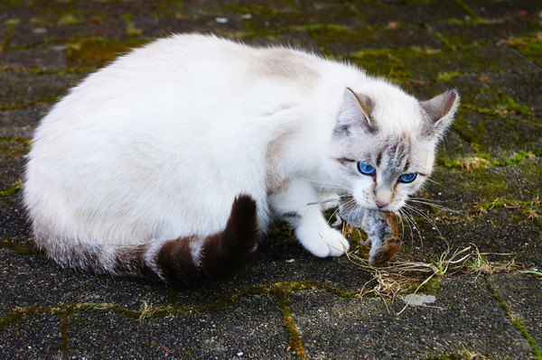ネズミを捕らえる猫