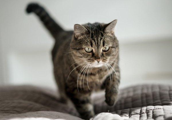 そろそろと布団を歩く猫