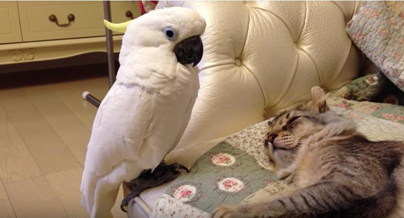 寝ている猫をみつめるオウム