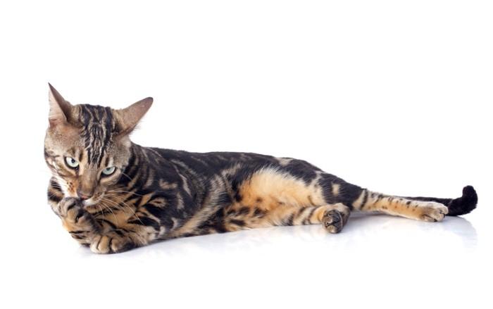 手を舐めるブラウンマーブルベンガル猫