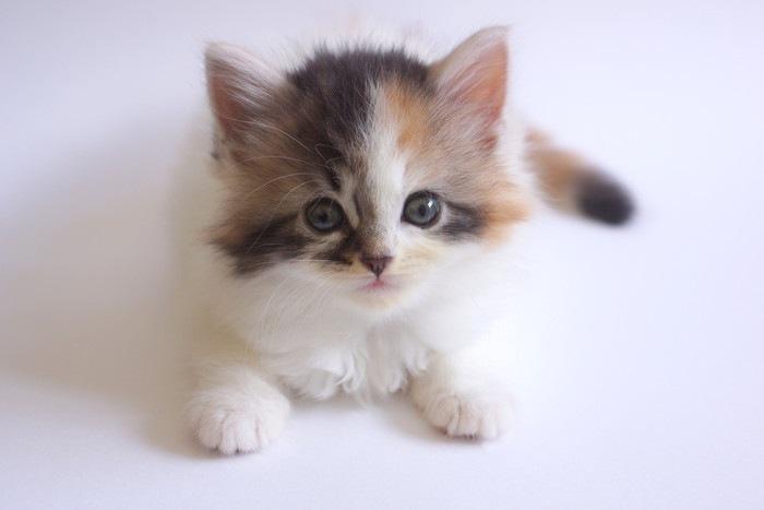 スコティッシュフォールドのキャリコ 子猫