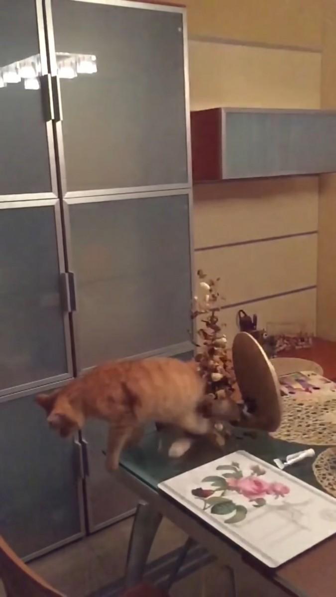 ナッツをかぶる猫