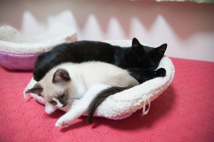 一緒のベットで眠る子猫