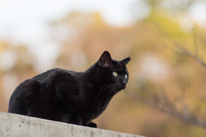 遠くを見つめる黒猫