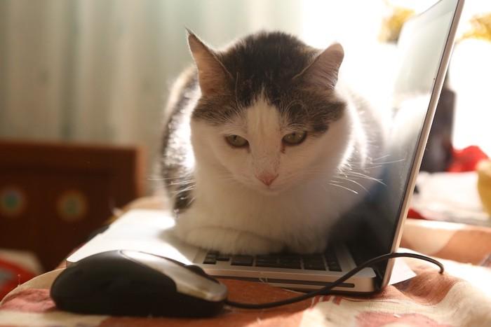 パソコンの上に乗ってくつろぐ猫