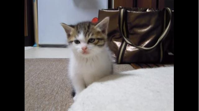 正面を向く子猫