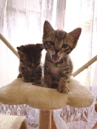 キャットタワーの上で大きく口を開けた子猫