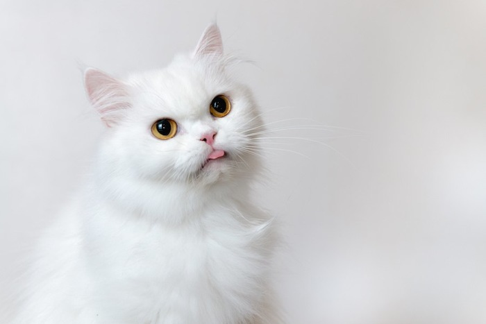 舌が出たままの白猫