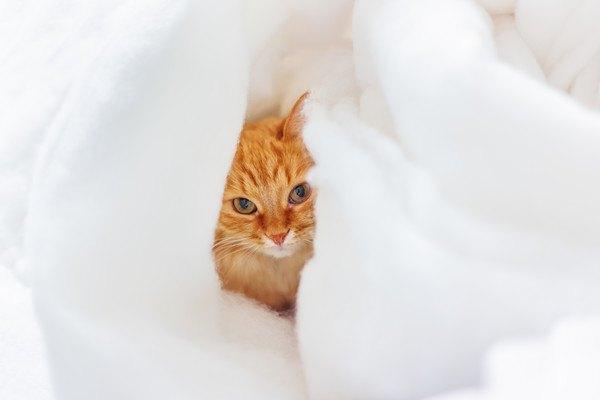 白い綿に隠れる猫