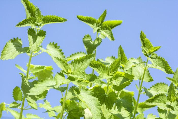 キャットニップの葉