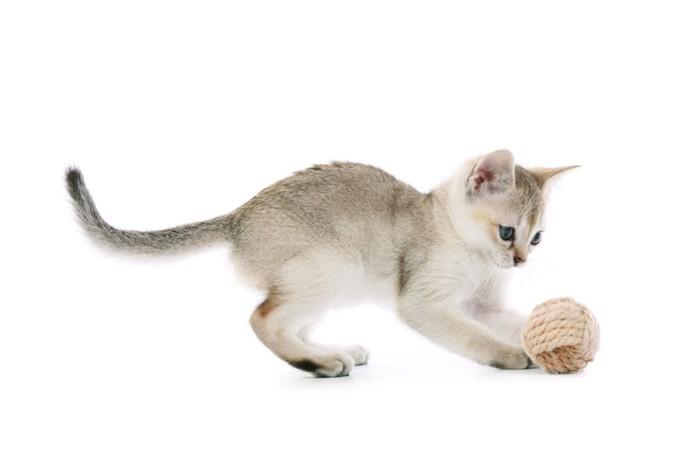 おもちゃで遊ぶシンガプーラの子猫