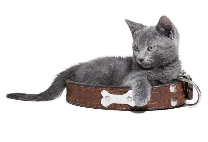 首輪の中でリラックスする猫