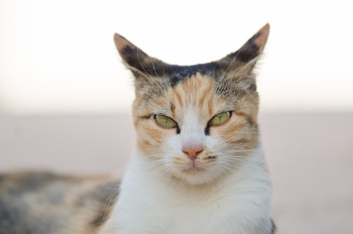 三毛猫の不機嫌な猫