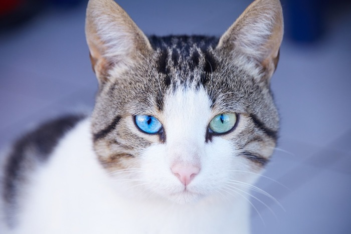 こちらを見つめる青い目の猫