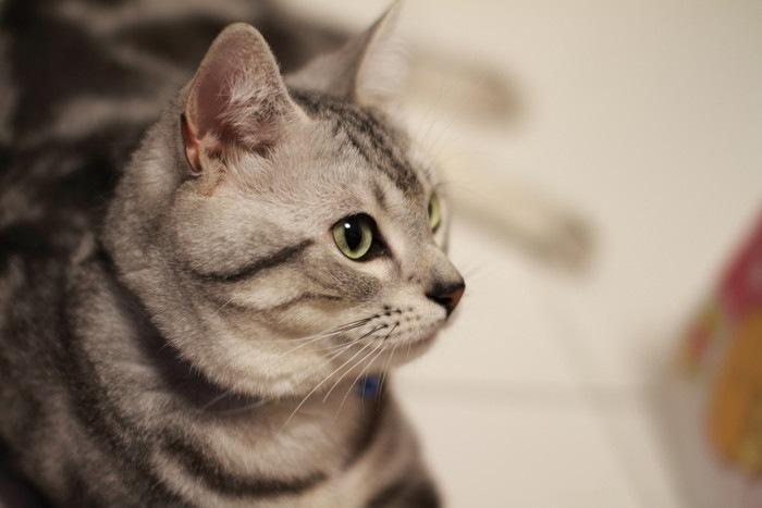 シルバータビーの猫