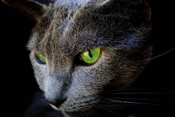黒い背景のロシアンブルー