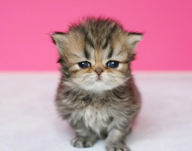107416278:チンチラの子猫