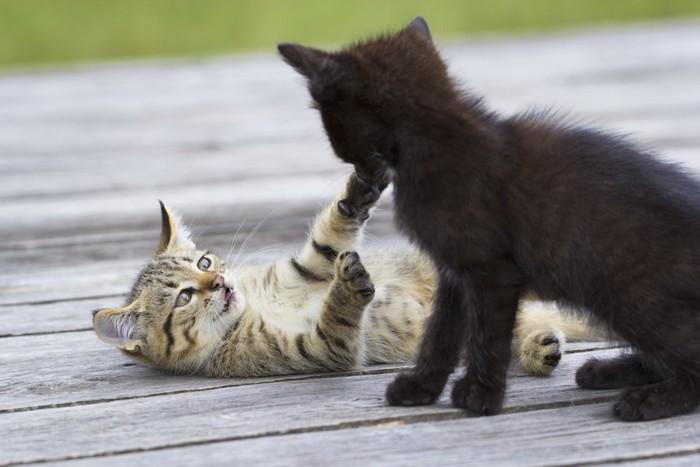 喧嘩遊びをする二匹の子猫