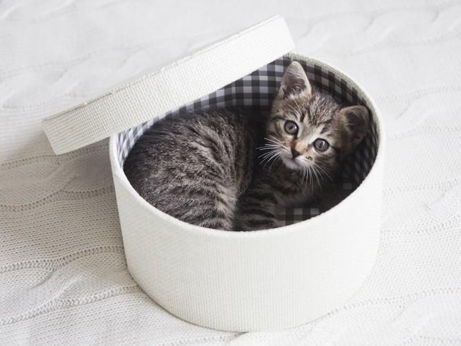 プレゼントボックスに入る猫