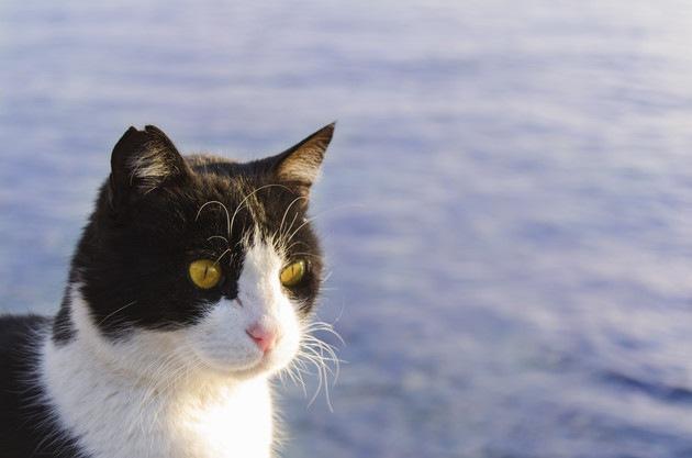 耳が欠けている猫