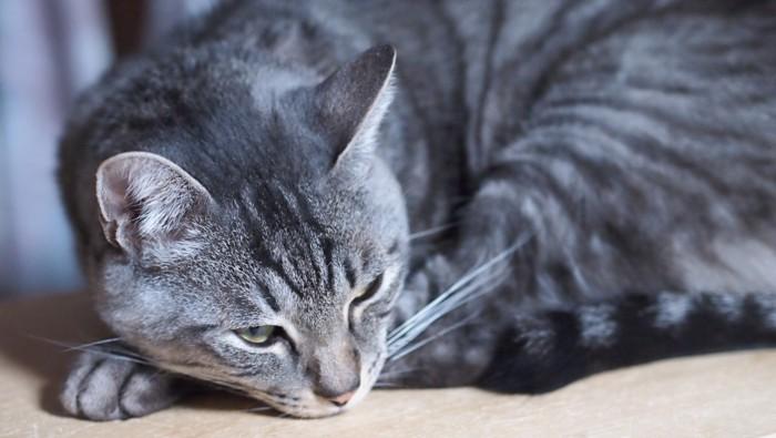 丸まって眠りにつくサバ猫