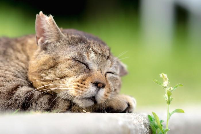 気持ちよさそうに眠るさくら猫