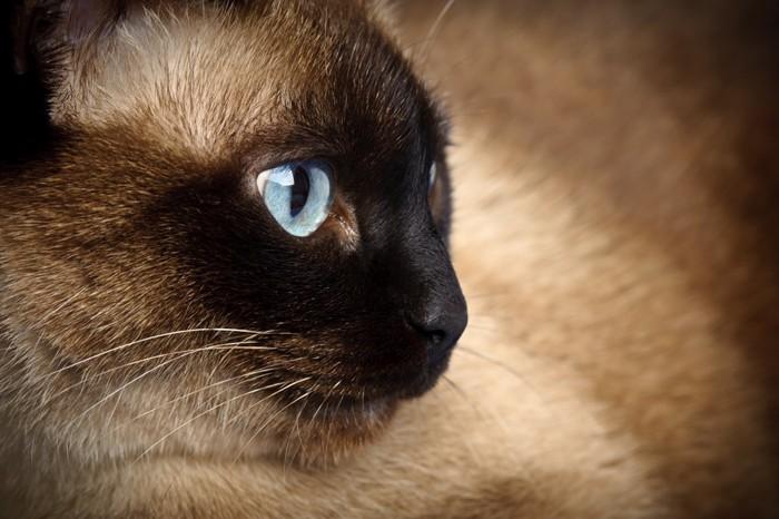 シャム猫の横顔