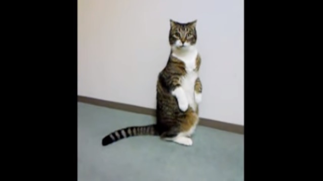 2足で立ち上がる猫
