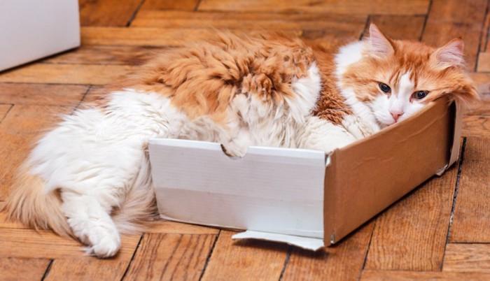小さい箱に無理やり入る猫