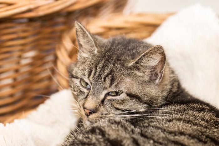 ベッドで安心してくつろぐ猫