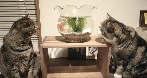 金魚鉢を見つめる猫二匹