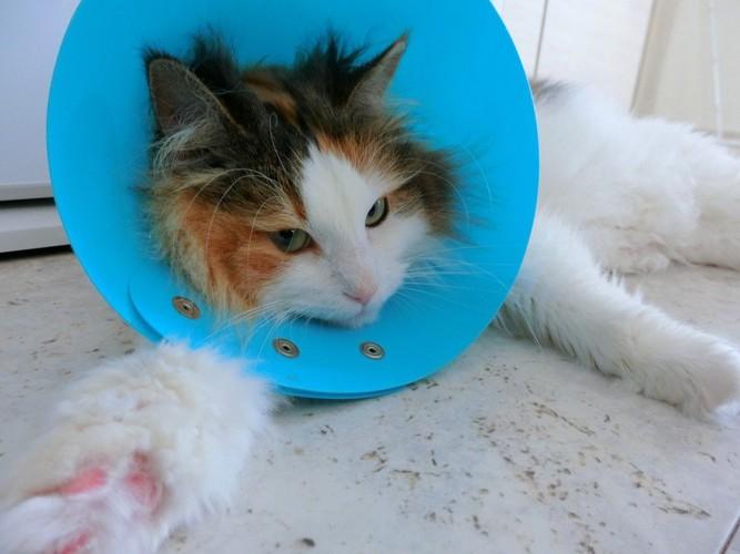 憂鬱そうなエリザベスカラーを着けた猫