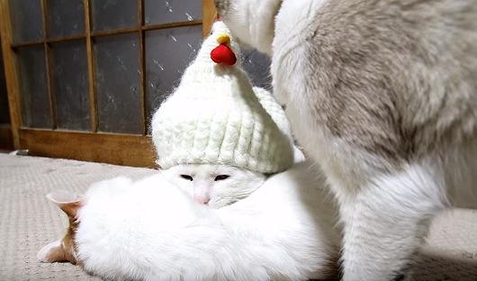 鶏帽子が気になる猫