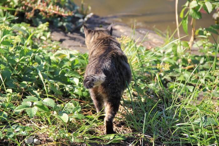 歩いていく猫の後ろ姿