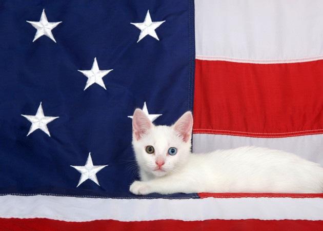 アメリカ国旗に乗っている猫