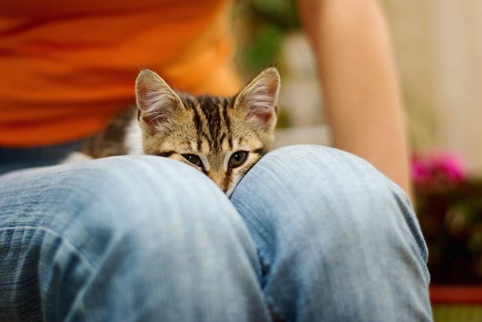 飼い主の膝の上に乗る子猫