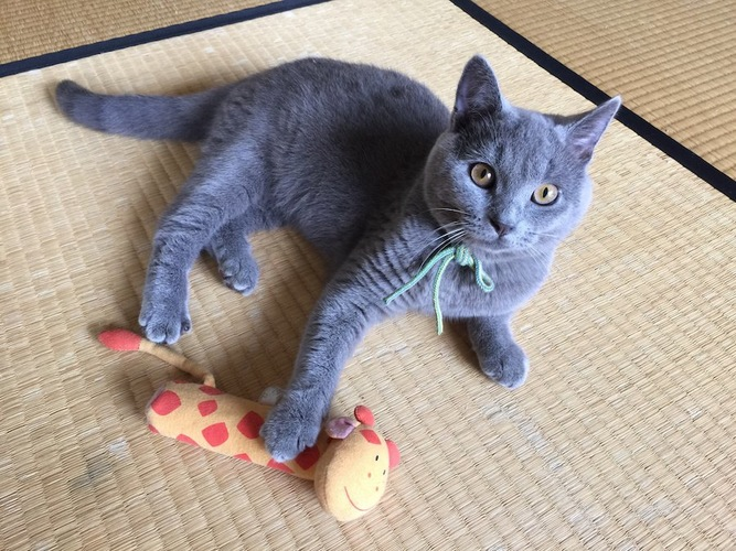 おもちゃに手を乗せてこちらを見つめる猫