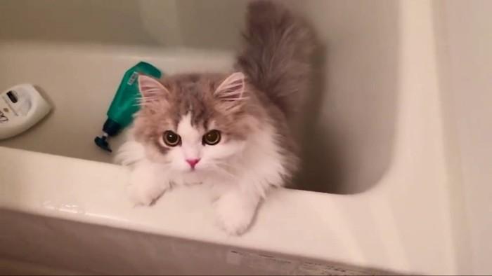真っ直ぐ見つめる猫ちゃん
