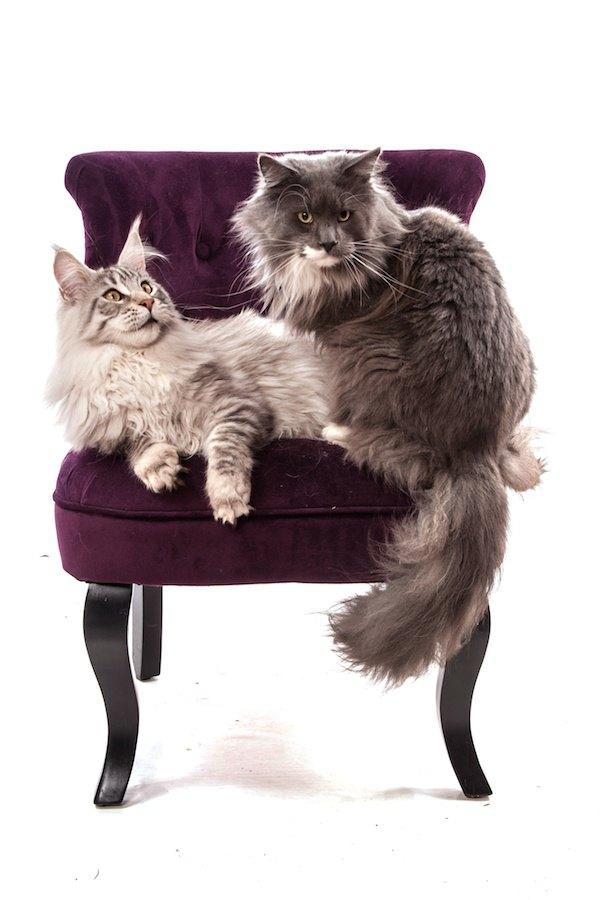 ソファーに座る世界一高い猫かもしれないメインクーン
