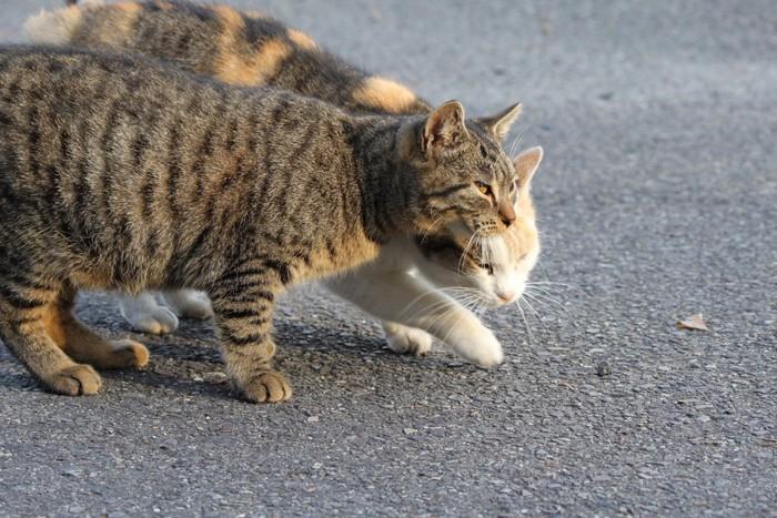 二匹で歩く猫