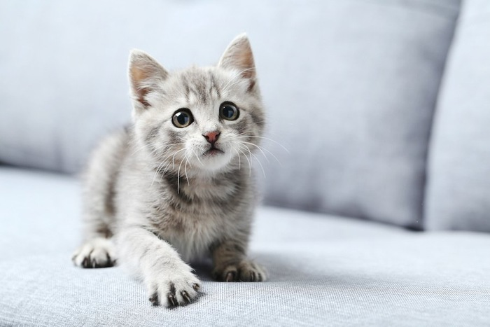 ソファーの上で見上げている子猫