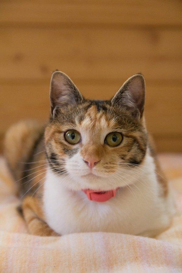 赤い首輪をした三毛猫
