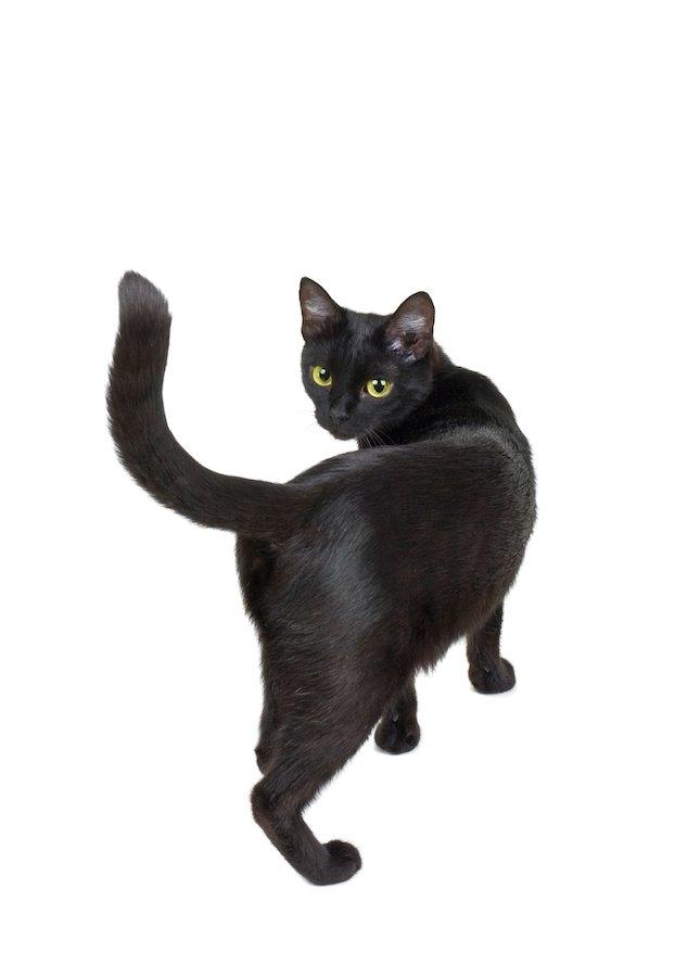 尻尾を立てて振り返る黒猫