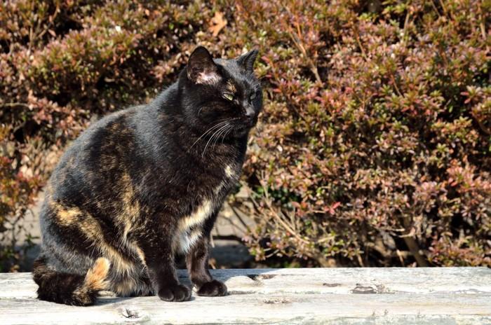 黒っぽいさび猫